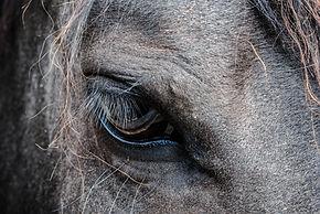 cheval relationnel voltigao