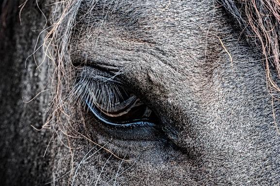 Paardenbeul slaat toe in Hasselt. Paard overlijdt aan verwondingen