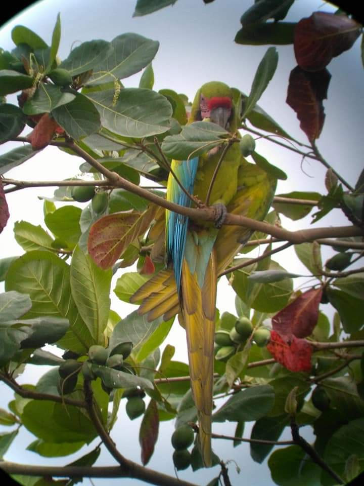The Great Green Macaw