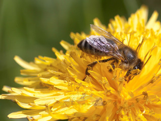 Die Beziehung Biene - Blume - Imker