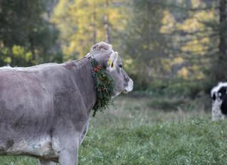 Steirisches Milchfest und ein traditioneller Almabtrieb