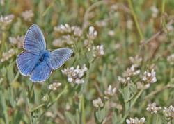 Schmetterling blau2787