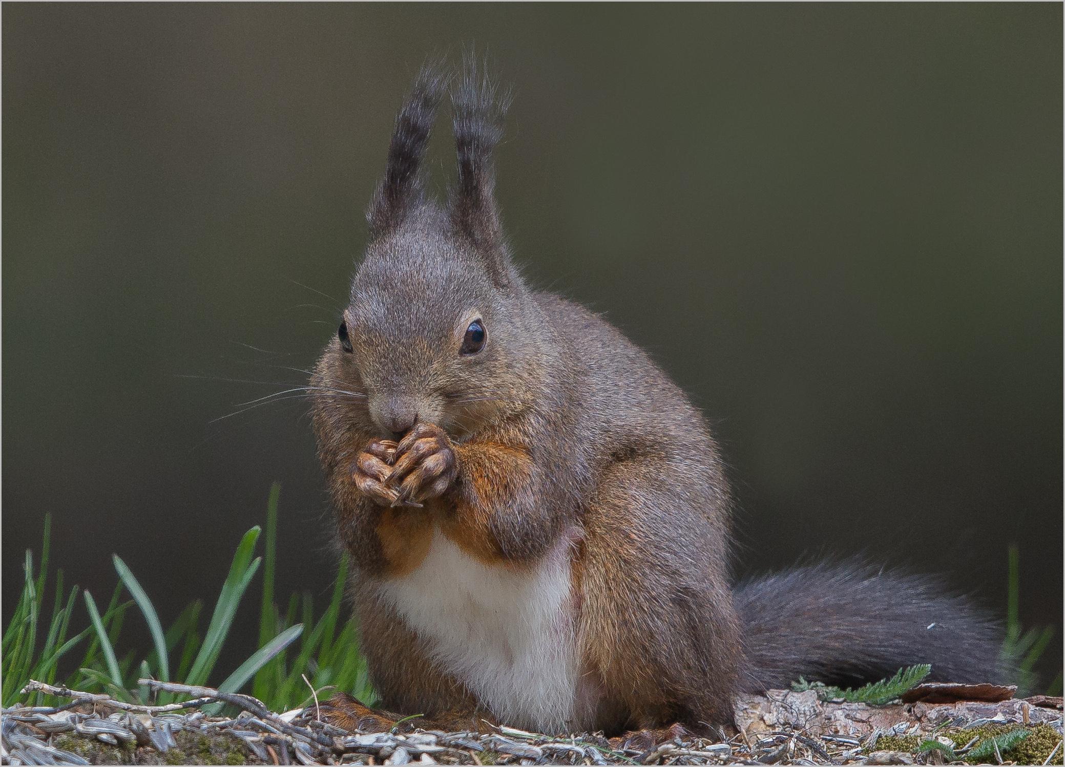 Eichhörnchen_I