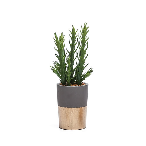 """Gold Band Potted Succulent [QTY6, 9""""]"""