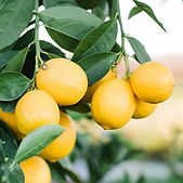 WheelerFarms_LemonOrangeTrees-Recipes.jp