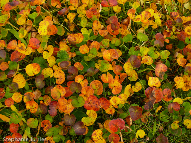 Autumn Deer Cabbage