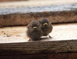 Fledgling Winter Wrens