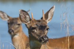 Yearling Deer