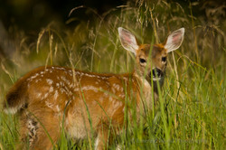 Sitka Black Tailed Deer Fawn