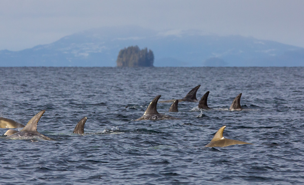 Risso's dolphins, cetaceans, prince of wales island, alaska, southeast alaska