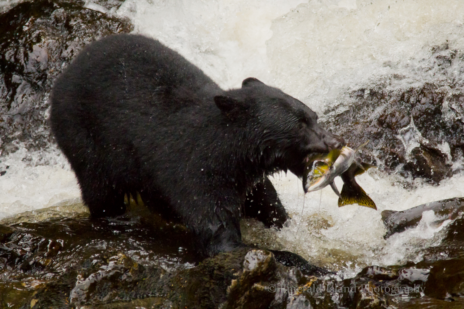 Black Bear and Pink Salmon