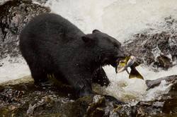 Black Bear and Pink Salmon