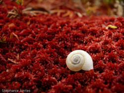 Snail on Sphagnum