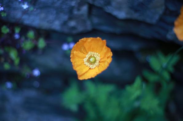 Welsh Poppy 1 - Colour+.jpg