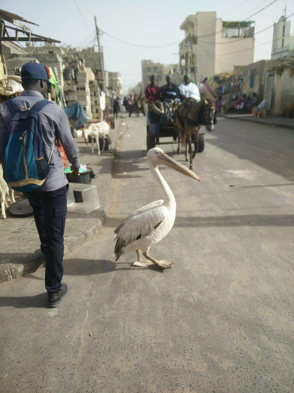 Abibou passant devant un pélican en plein centre de Saint-Louis