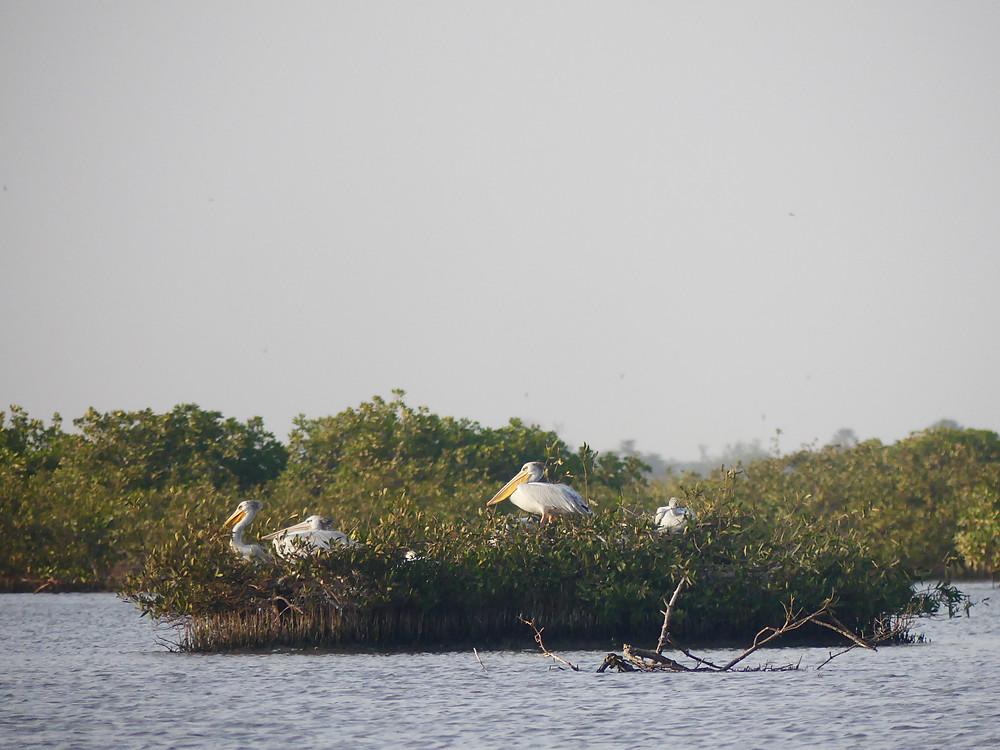 La mangrove de la région du Sine Saloum, Mar Lodj