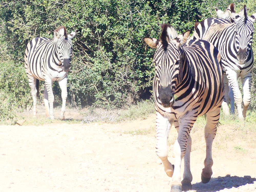 Zèbres dans l'Addo Elephant Park