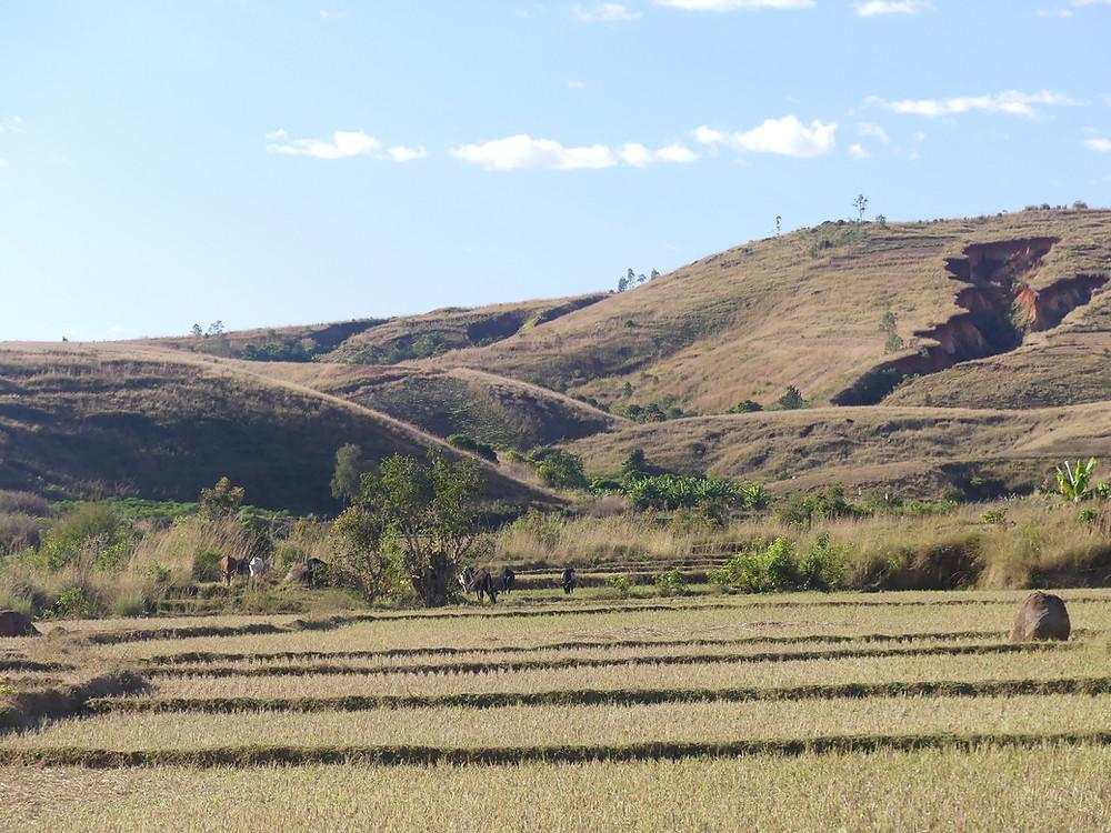 lavakas surplombant une rizière