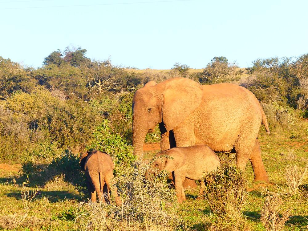Elephant d