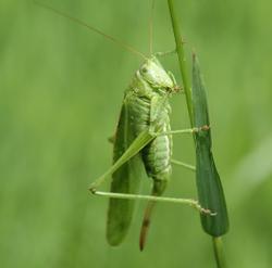 grünes_heupferd