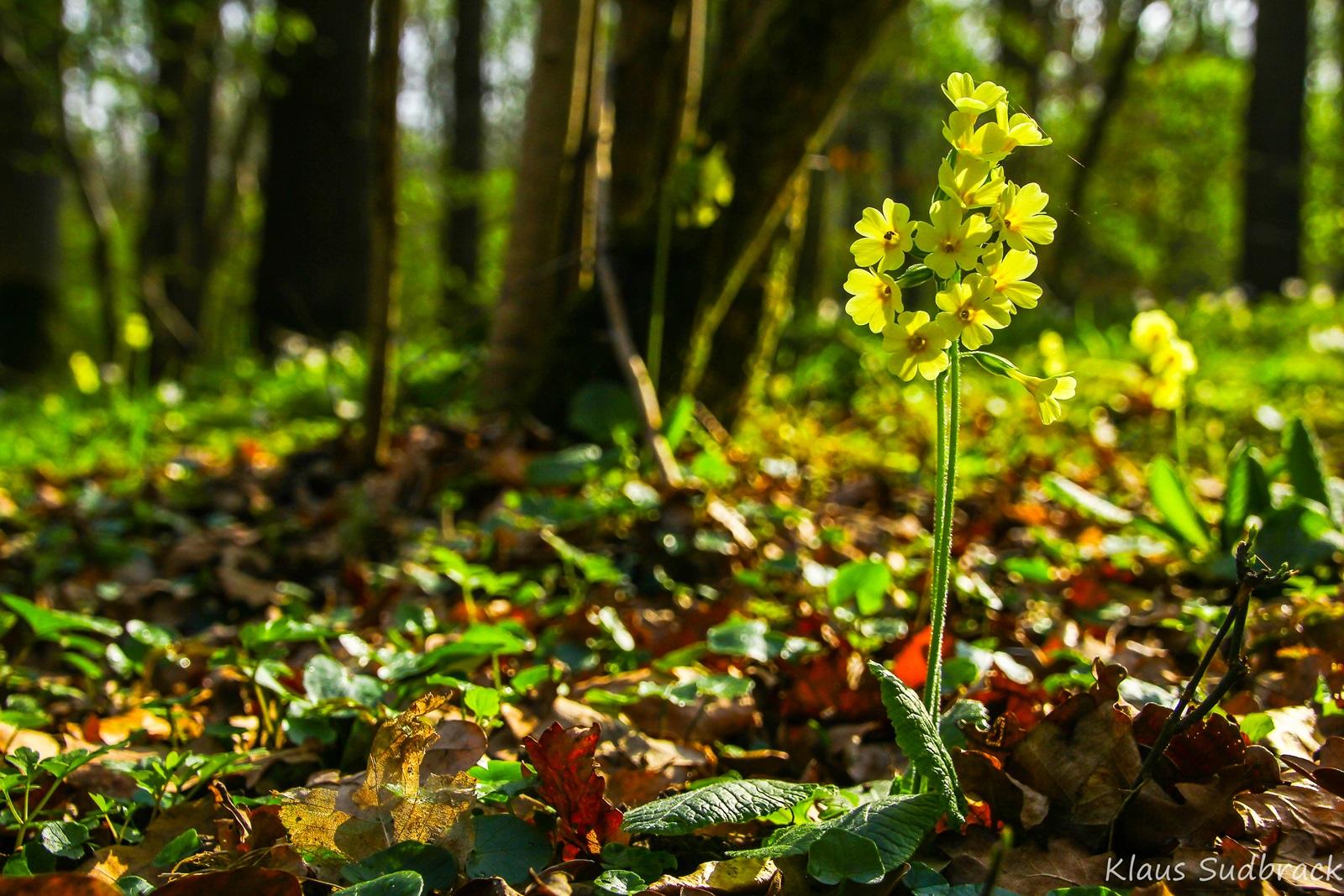 Schlüsselblume (Primula elatior ) (2)