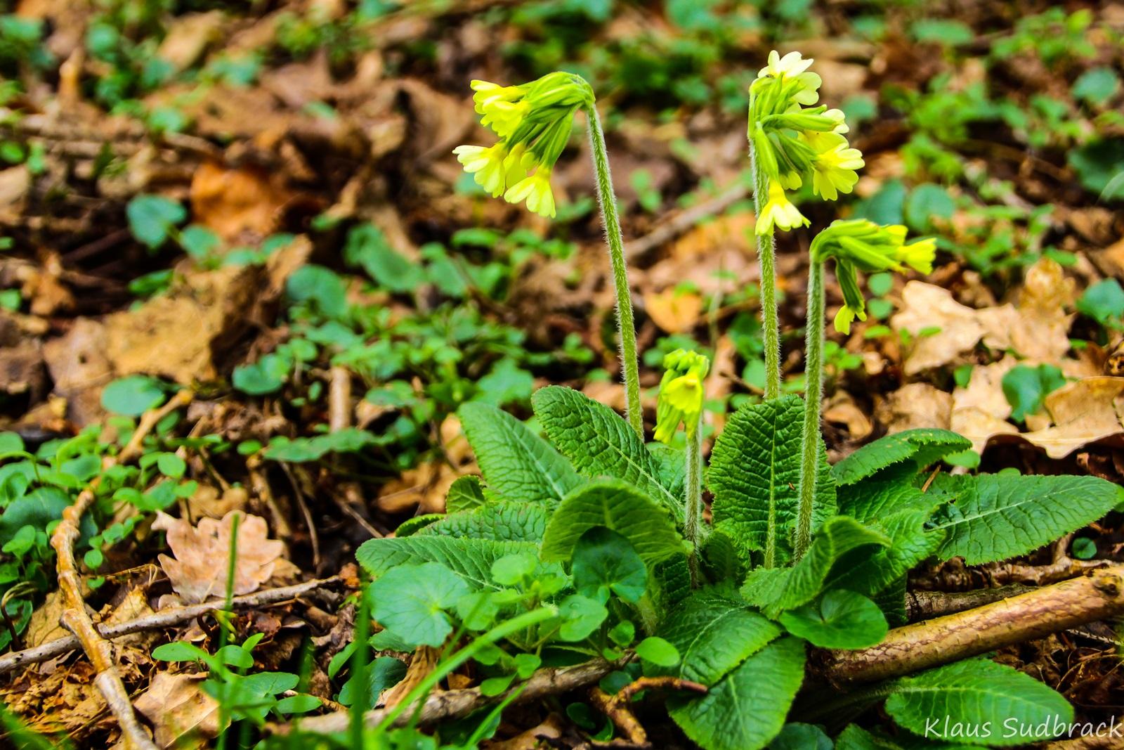 Schlüsselblume (Primula elatior ) (1)