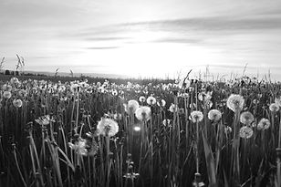 Meadow pissenlit