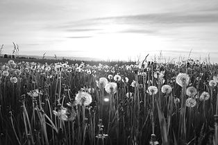 Black and white photo of a field of dandelions