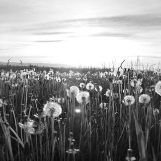 Dandelion Meadow