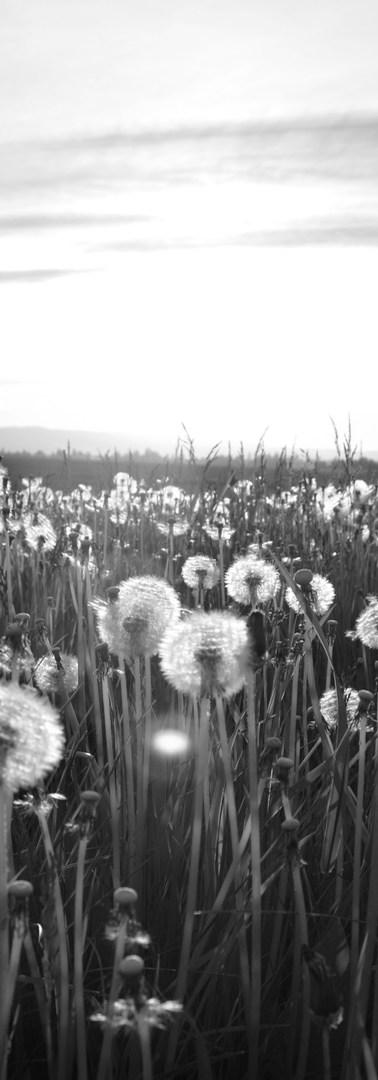 蒲公英草甸