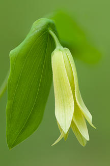 "Evelyn Jacob, ""Perfoliate Bellwort"""