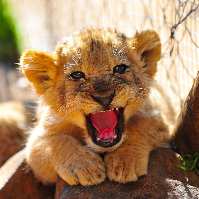 Image of a lion cub looking fiercely cute trying to gather up a roar from their belly! Awwww.