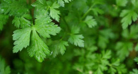 Cilantro enlarged.jpg