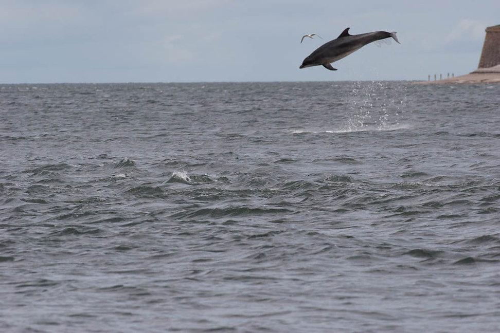 BND Bottlenose dolphin (Tursiops truncat