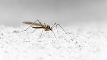 Ätherische Öle und Mücken – Interview mit einem Blutsauger