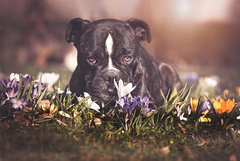 Foto Französchische Bulldogge