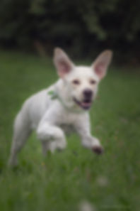 Labrador-9.jpg