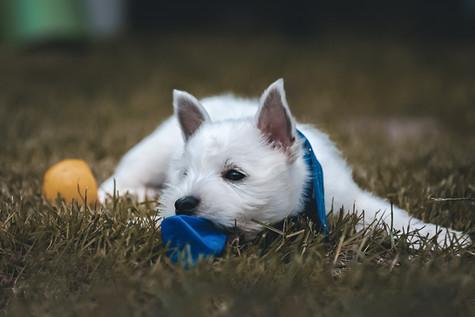 Foto Westhighland White Terrier