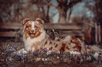 Foto Australian Shepherd und Französchische Bulldogge