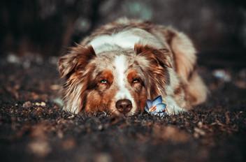 Foto Australian Shepherd