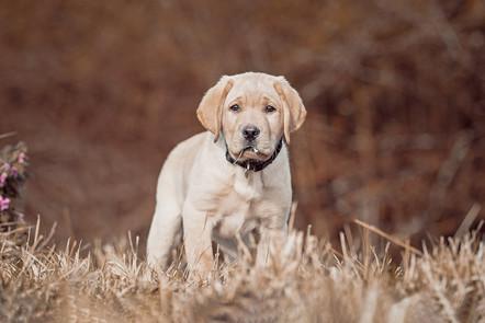 Foto Labrador