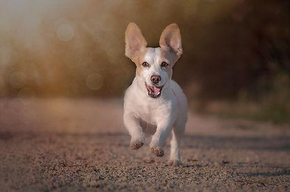 Terrier-Mix