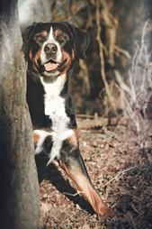 Foto Großer Schweizer Sennenhund