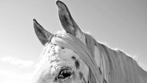Crotca horse