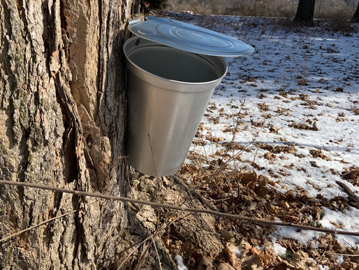 Waiting for Maple Sap