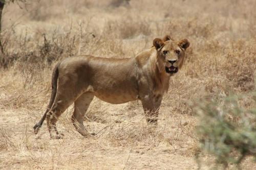 Serengeti 2016_Lioness_2.jpg