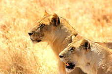 Serengeti_2016_Lioness_1_düzenlendi.jpg