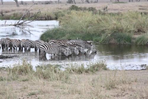 Serengeti_Zebras4.jpg