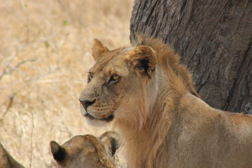 Serengeti 2016_Young Lion.jpg