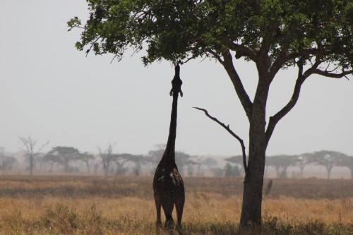 Serengeti 2016_Giraffe and Tree_1.jpg